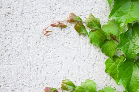 grey house: A closeup view of green ivy on a grey house wall