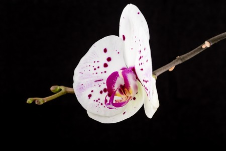 located: Beautiful home orchid flower. Located on a black background.