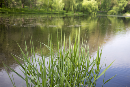 bulrush: Young shoots of bulrush.  Close up on a background of lake.