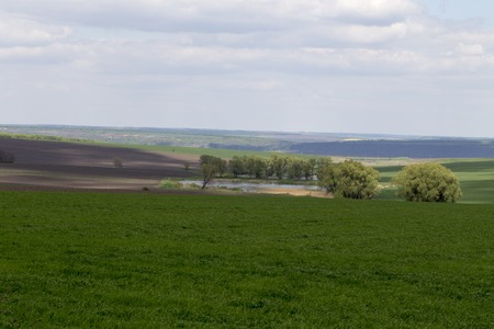 winter wheat: Green field and cloudy day. Field sown of winter wheat.