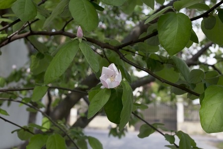 membrillo: Blossoming quince. Blossoming quince against a white wall. Foto de archivo