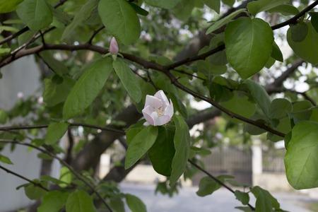 membrillo: Florecimiento de membrillo. Florecimiento membrillos contra una pared blanca. Foto de archivo
