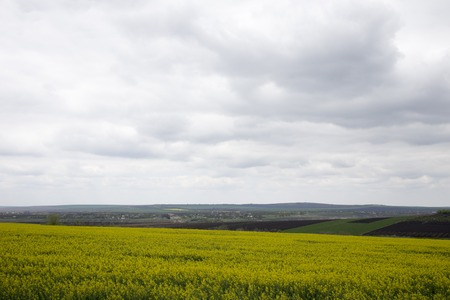 Rapeseed field. Landscape rapeseed field on a cloudy day.