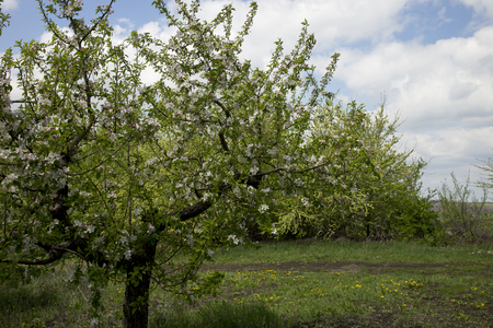 protection of arable land: Apple orchard. Landscape of blossoming apple orchard. Stock Photo