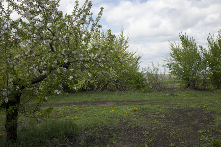 Apple orchard. Landscape of blossoming apple orchard. Stock Photo