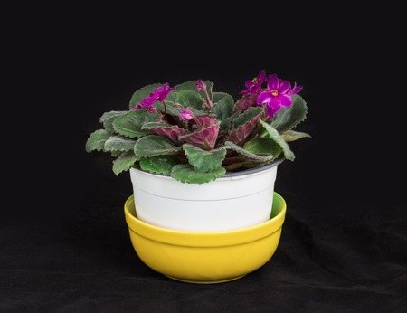 whote: Beautiful domestic violet flowers in whote pot. Located against black background. Stock Photo