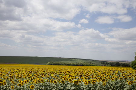 disposed: Field of blooming sunflowers disposed on background of blue sky and cumuli clouds. Stock Photo