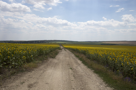 Road leading back home between field of sunflowers.
