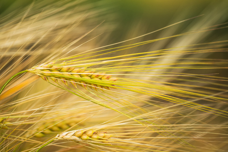 grain fields: Ripening ears of yellow wheat field. Selective focus. Macro. Photo can be used as a whole background.
