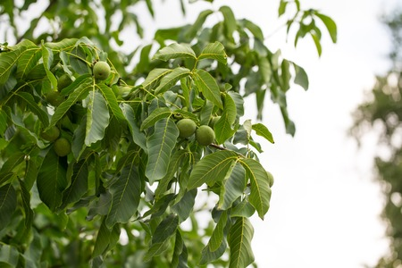 walnut tree: Closeup of walnut tree with ripe nuts and leaves. Stock Photo