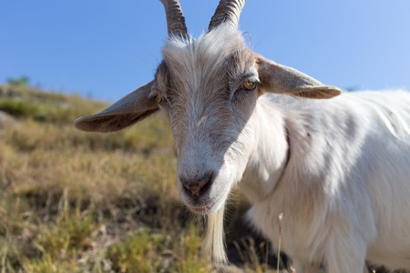 Funny goat portrait against sunny meadow background.