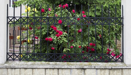 Blooming rose bush. There is a blooming rose brush and a metal fence. Stock Photo
