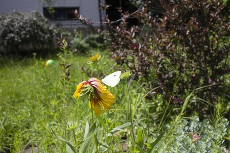 Butterfly on yellow flower. Butterfly has a latin name Pieris Brassicae.