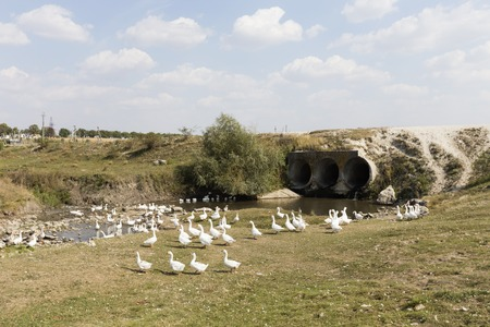 家庭用白ガチョウ。彼らは川の近くに放牧。