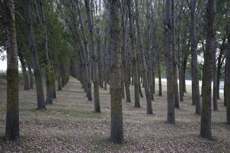 ポプラの木を植えています。ウォール ペーパーの背景として使用できます。