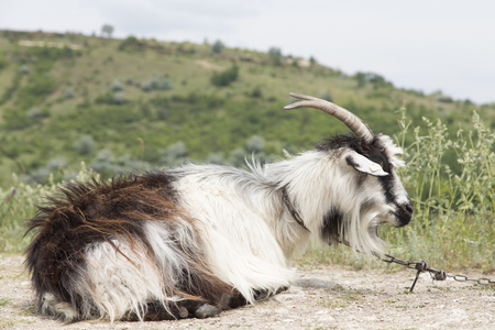 he: Close-up of a he-goal. The goat is lying on a slope hill. Stock Photo