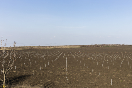 Arable land and nursery transplant. Landscape with seedlings of fruit trees and the blue sky. Stock Photo