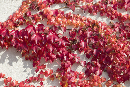 Boston ivy in red growing on a white wall. Stock Photo