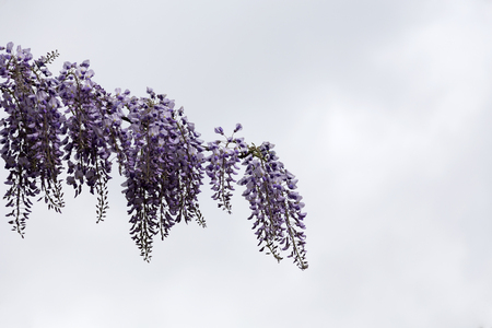 Wisteria is the perfect tropical plant for garden. Banque d'images