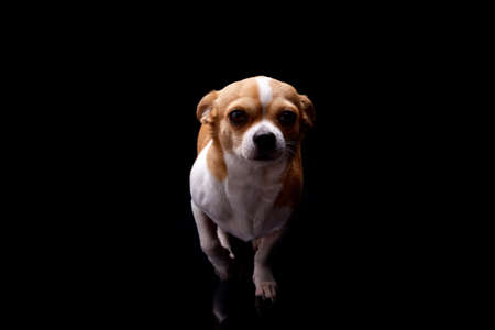 Small dog white brown fur color standing bark commercial for veterinary care and health or doggie food nutrition funny pet puppy animal studio black background. Foto de archivo