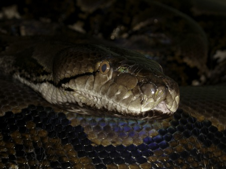 reticulated: Reticulated Python (Pythonidae) Stock Photo