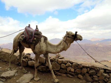 mount sinai: Camel at Mount Sinai, Egypt Archivio Fotografico