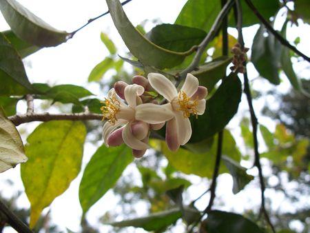 androecium: Lemon Flower
