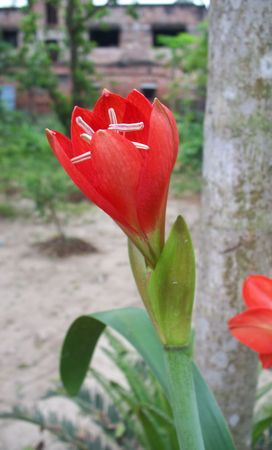 androecium: Lily