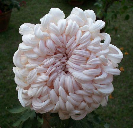 Chrysanthemum photo