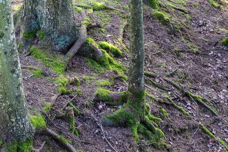 Great pine roots covered with beautiful green moss in the forest