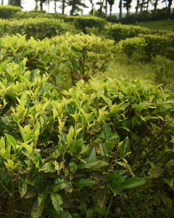 A large tea garden in the state of eastern India. Meghalaya produces a relatively tiny quantity production but those are high in quality. Like all hill states it is the ideal place for tea plantation.