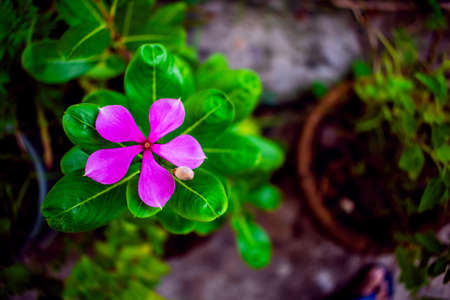 Nature photography of pink periwinkle or Nayantara flower with fresh green leaves, buds on branch of tree at garden. Beautiful tugger flowers in plant in bright morning sunshine. Copy space for text.