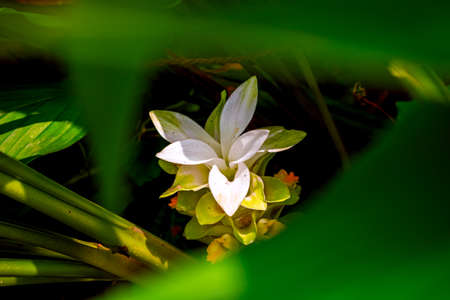 Nature photography of white yellow flower with fresh green leaves, buds on turmeric tree at garden. Beautiful design flowers blossomed in ginger plant in bright morning sunshine. Copy space for text.