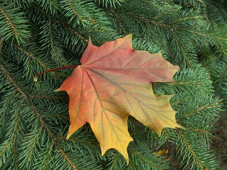 The leaf of a maple has fallen to a fur-tree branch. Yellow on green.