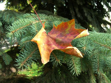 Autumn leaves lay on a green fur-tree branch. Gold on green.