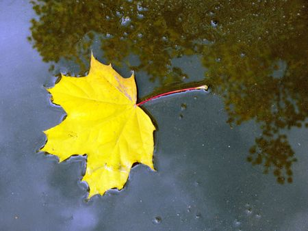 Leaf fall. A leaf of a maple fallen in a pool. Reflection of the sky.