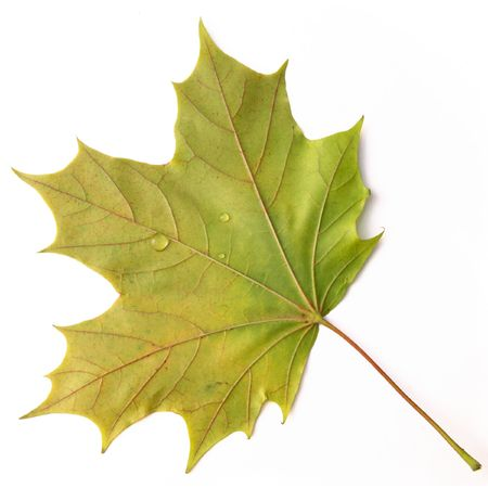 Small drops of water on a maple leaf. Stock Photo