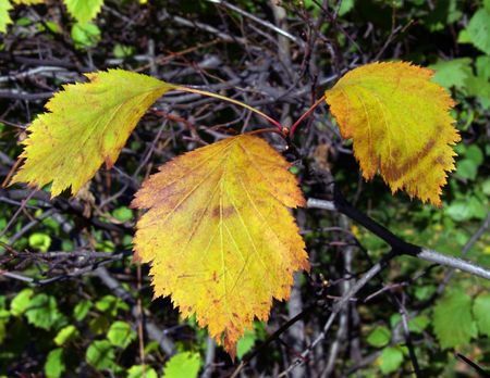 withering: Autumn leaves are brighter than flowers. Beauty of withering.