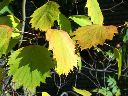Autumn leaves are brighter than flowers. Beauty of withering.