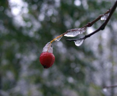 Red berry under the frozen snow. The end dawn - upon the beginning of winter.