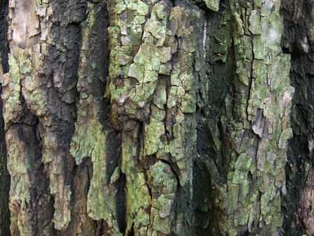 skin of tree. shrshavaya surface of bark of tree