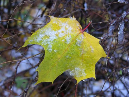 First snow on a yellow maple-leaf.