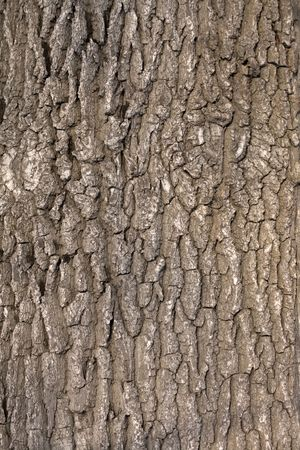 Oak tree bark. The abstract background for design.