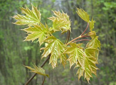 Young leaves of maple light on the sun. Spring. Stock Photo