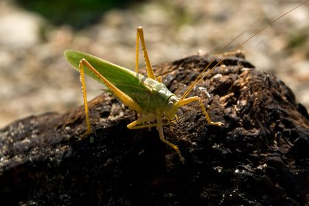 One locusts on a piece of burnt wood. In posture thinker.