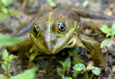 Portrait of frogs close-up. A good camouflage.