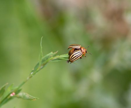 Colorado beetle is preparing to fly. Course on potatoes. Stock Photo