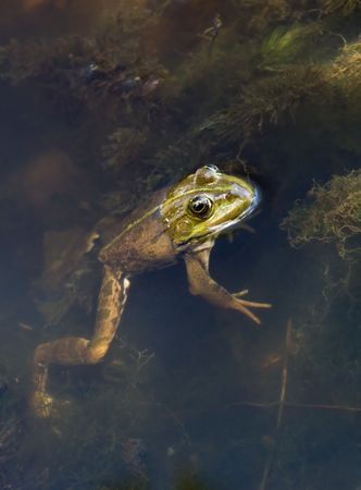 Portrait of frogs close-up. The body under the water, head - above.