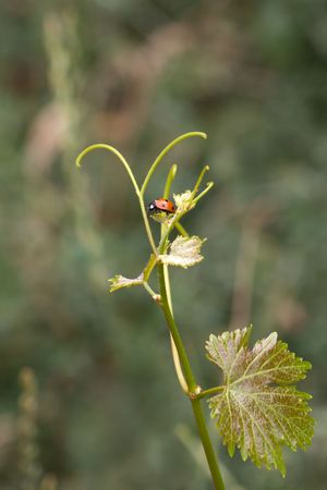 Ladybird on young grape leaves. Grape antennae.