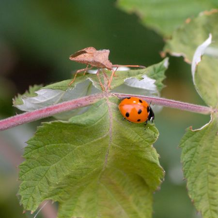 Ladybird and bugs on the leaves raspberries.